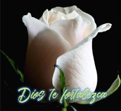 Fotos de luto con una rosa blanca para compartir